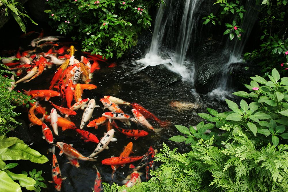 17 Best Images About Koi Ponds On Pinterest | Water Features