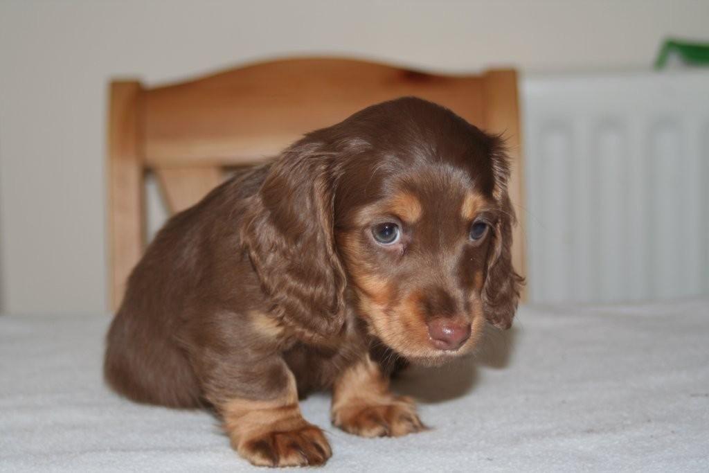 Chocolate Short Haired Miniature Dashshunds Brown Dachshund