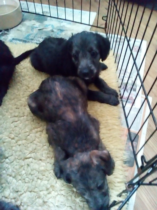 1st Cross Bedlington X Whippet Puppies For Sale Doncaster