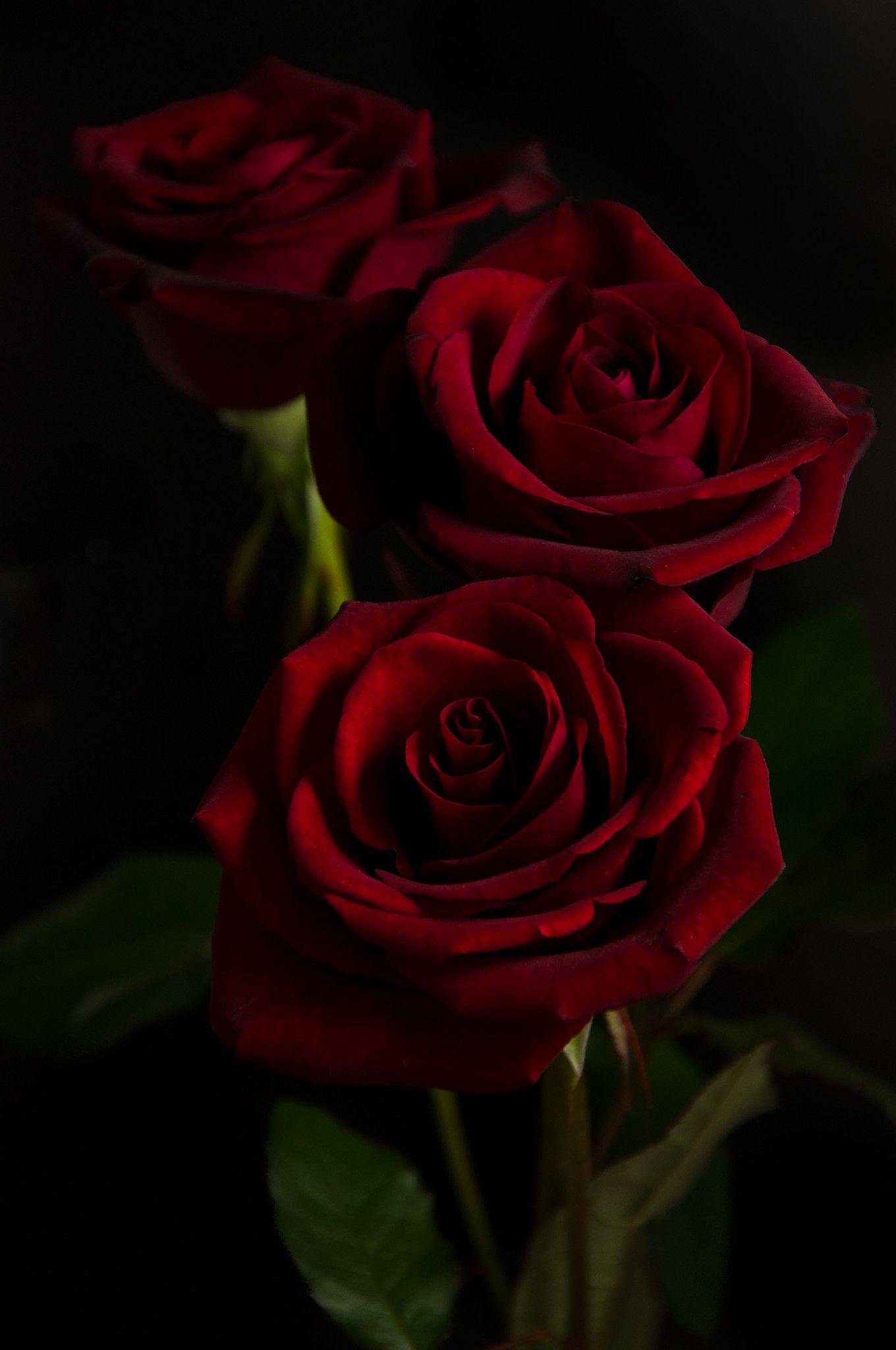 Red Rose On Black Hd Wallpaper Rose Wallpaper Flower Desktop Wallpaper Red Roses