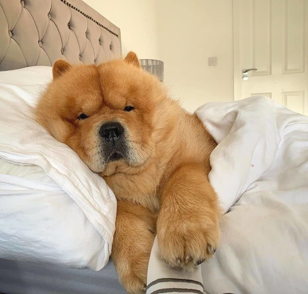 Pin By Beth Richmond On Caes Cuddly Animals Fluffy Dogs Cute Dogs