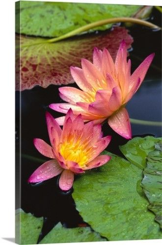 adced8d1f5dea9 Bill Brennan Premium Thick-Wrap Canvas Wall Art Print entitled Two Pink  Water Lily Flowers, Lily Pads, None