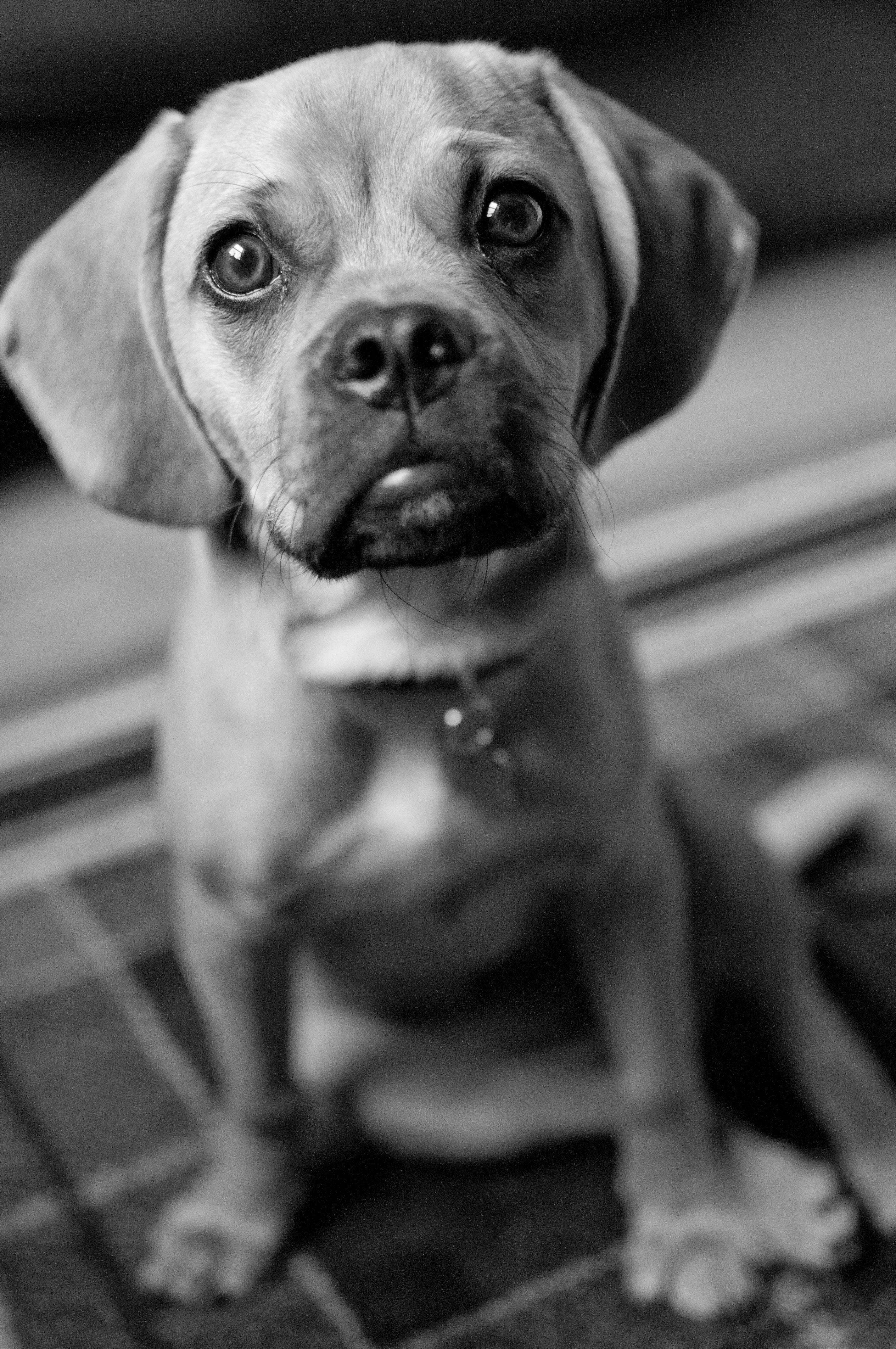 Puggle puppy black & white | My Photography | Pinterest ...  White