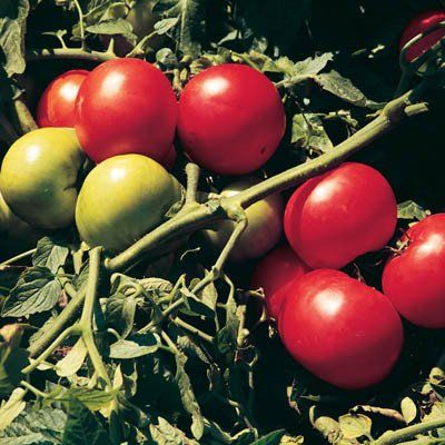 Tomato Supersonic F1 Tomato Plant Sale Growing Vegetables