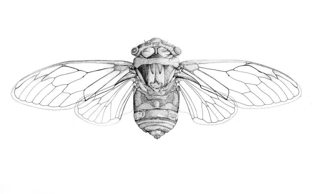 Cicada by emmastothard   Cicada tattoo, Drawings, Illustration