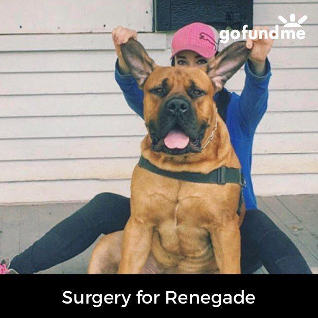 Renegade needs exploratory surgery on both front paws. He has two painfully large cysts. It has been a rough year, and insurance will only cover a portion, so I threw this page together: https://www.gofundme.com/surgeryforrenegade  I know finances are tig