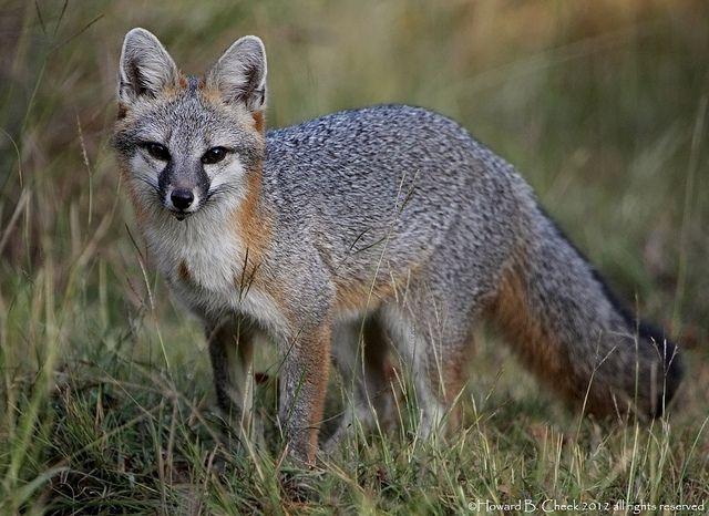 Gray Fox Texas Gray Fox Female Flickr Photo Sharing