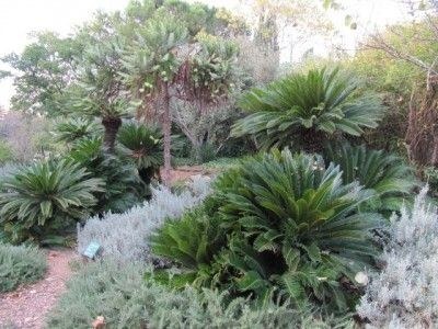 How to grow cycads information on cycad care gardens for Garden plant information