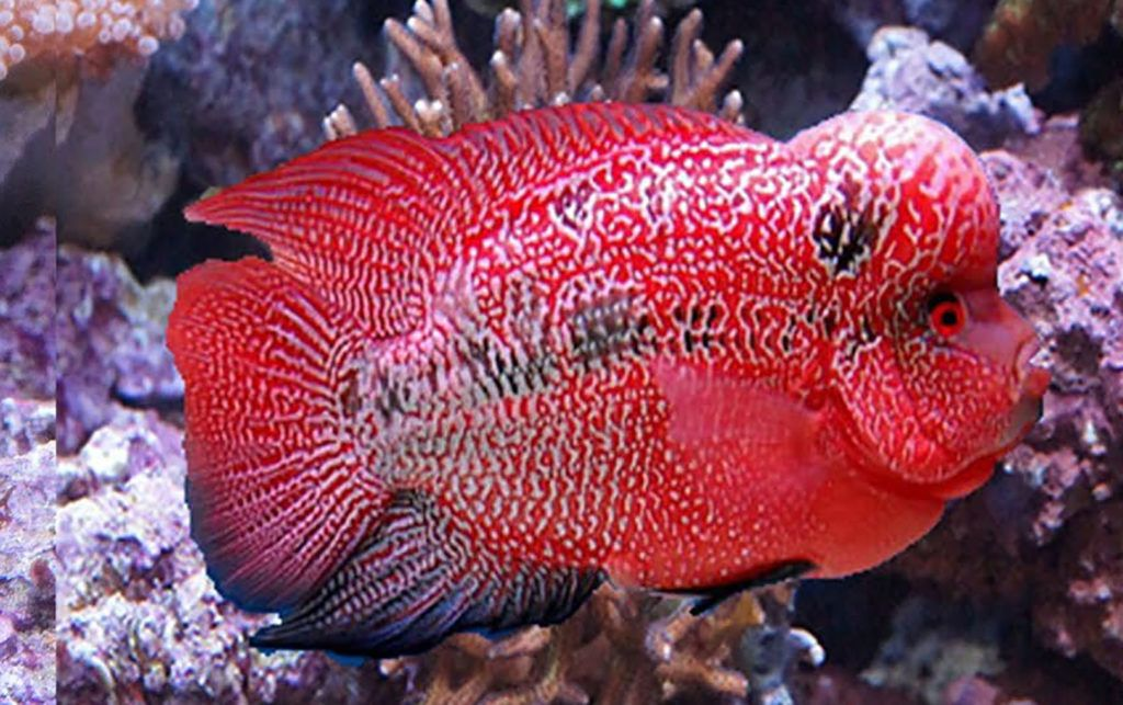 Beautiful Flowerhorn Flowerhorn Oscar fish, Large fish
