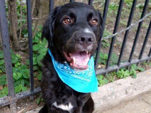 LOUIE A1039156 Animal rescue, Retriever dog, Labrador