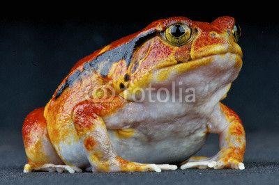 Tomato frog / Dyscophus guineti