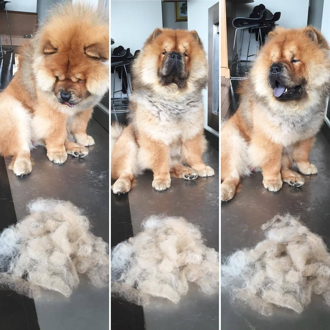 However The Amount That Your Chow Sheds Will Depend On Nutrition