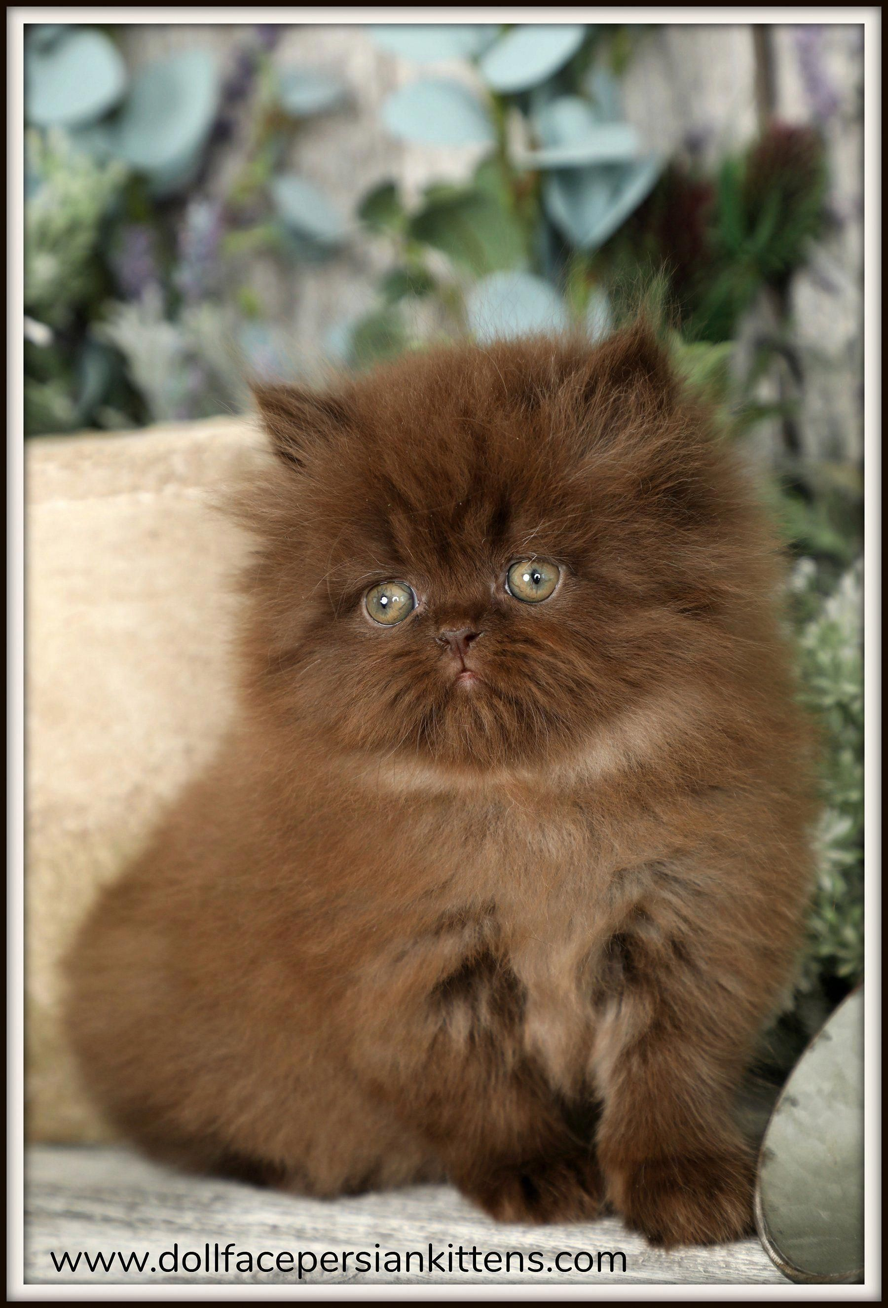 Doll Face Persian Kittens Chocolate Persian Kitten Persiancatchocolate Persiancatdollface Persian Cat Doll Face Persian Kittens Kittens Cutest