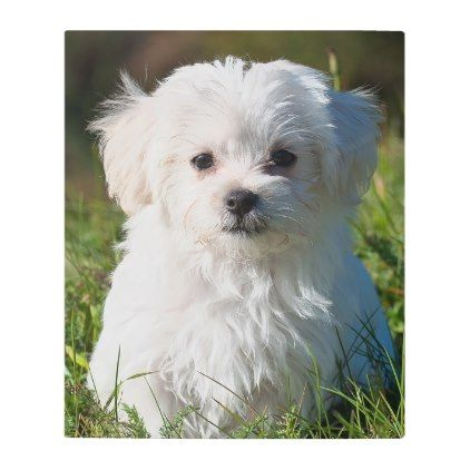 Maltese Metal Print Maltese Puppy Dog Dogs Pet Pets Cute