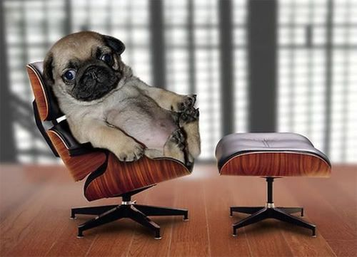 A pug in a tiny office chair, for some reason
