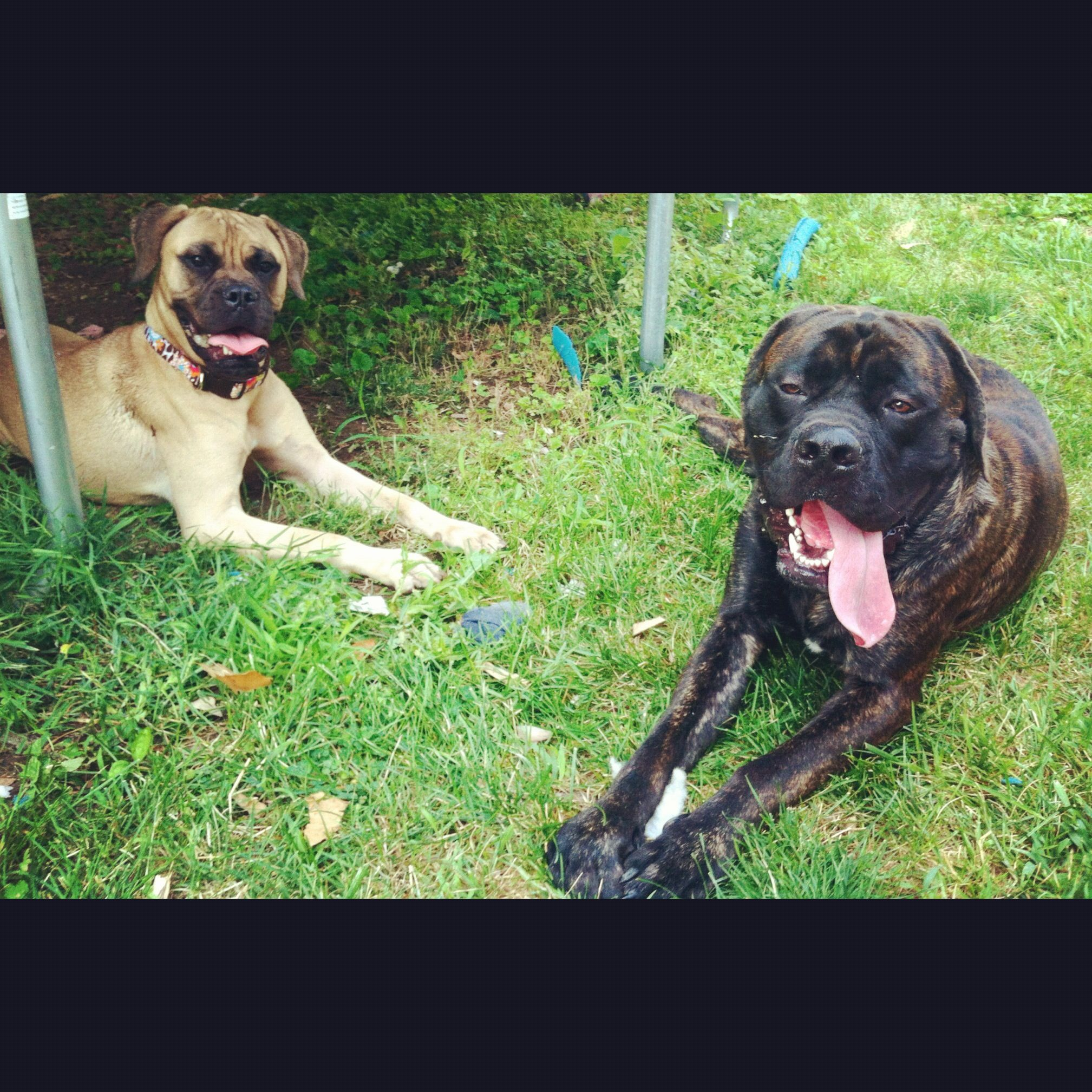 Both 1 year old. Fawn bullmastiff Zoe and brindle English mastiff Apollo