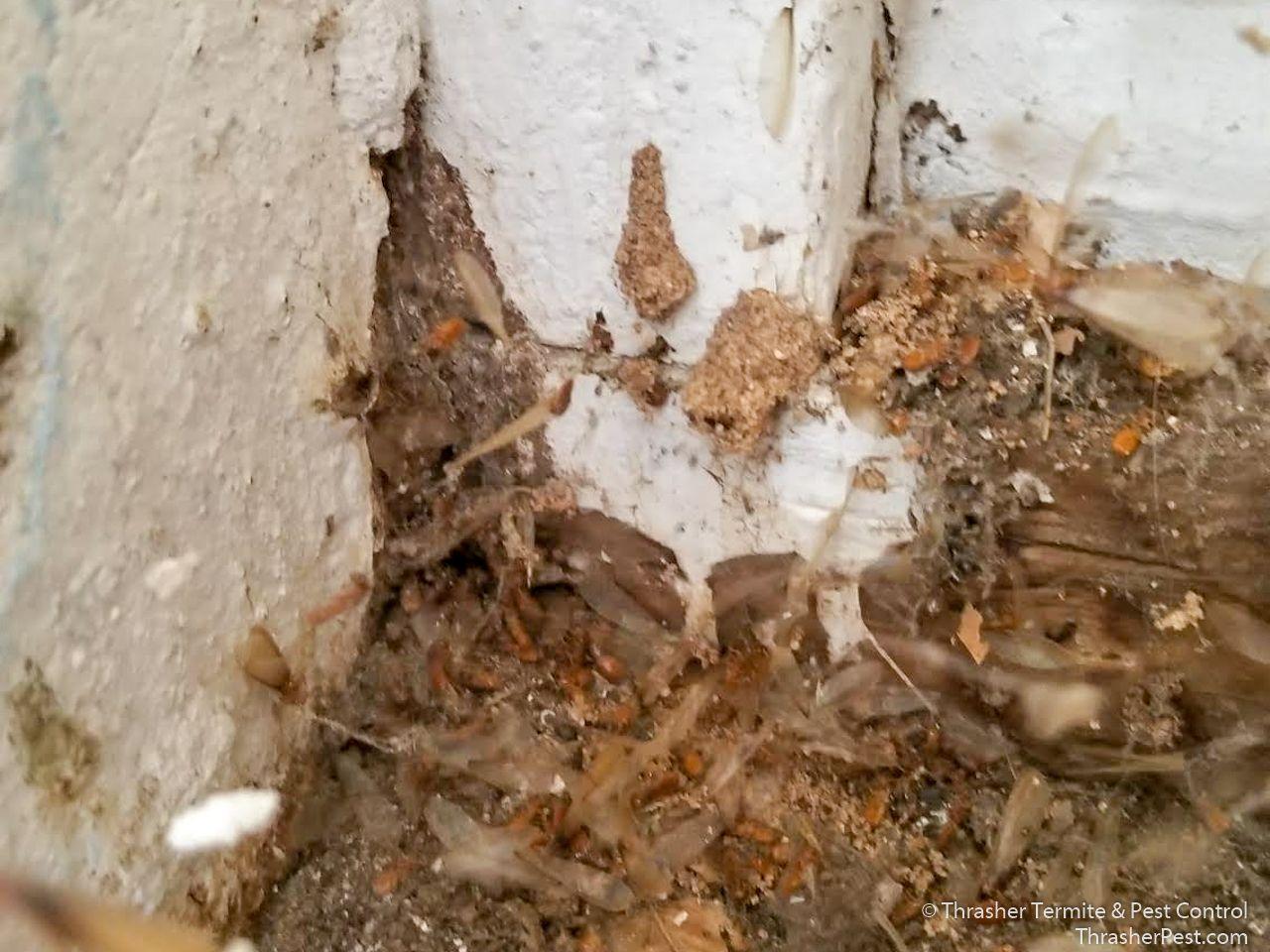 Formosan Subterranean Termite Debris La Mesa 2018 Termite Control Termites Termites Facts