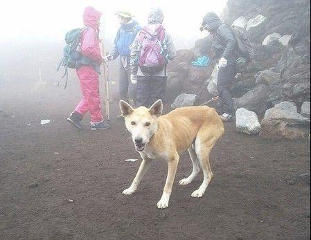 Lost dog seen roaming the summit of Mt. Fuji