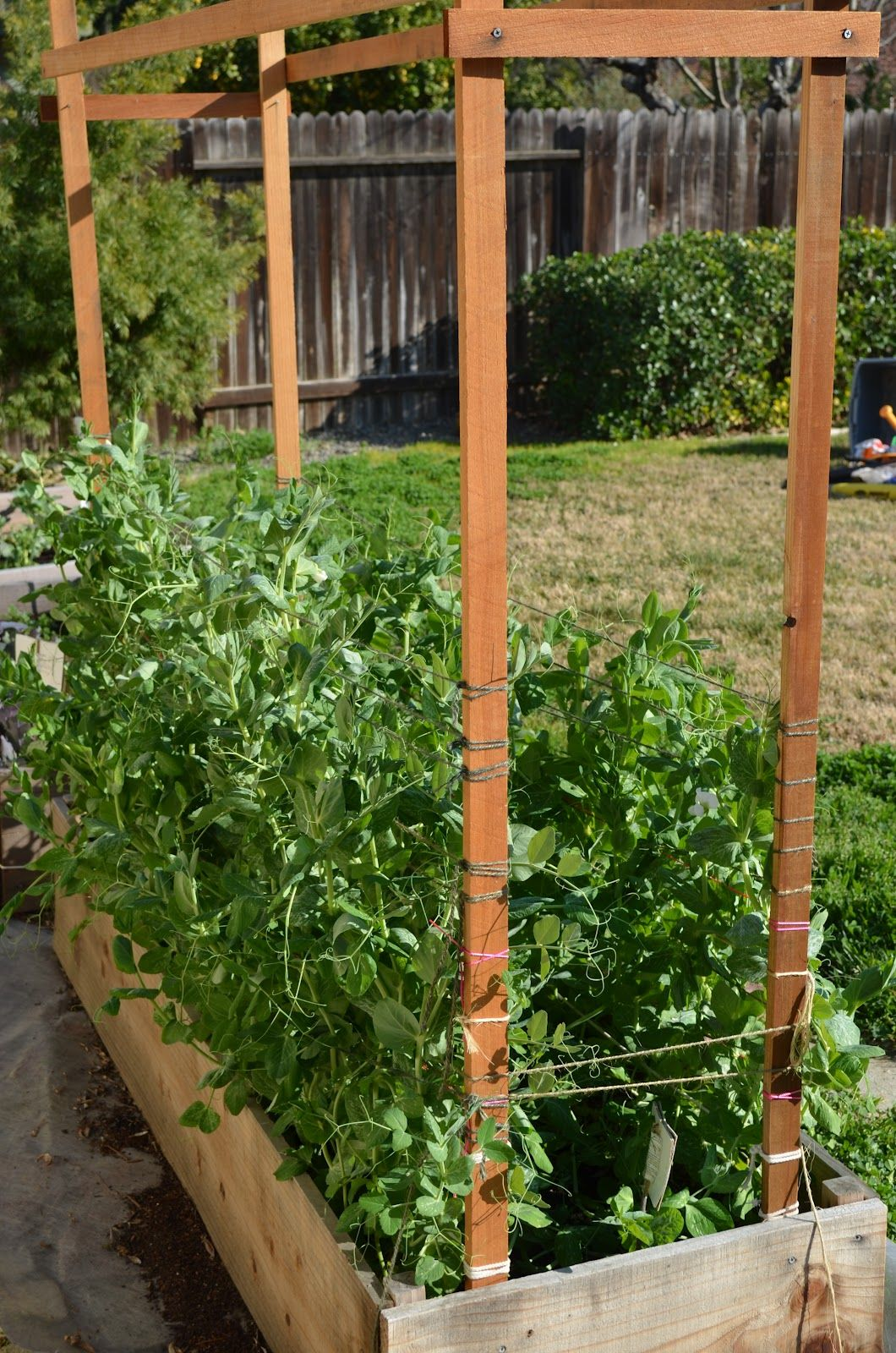 So this simple trellis held the weight of 32 snow pea plants. And ...