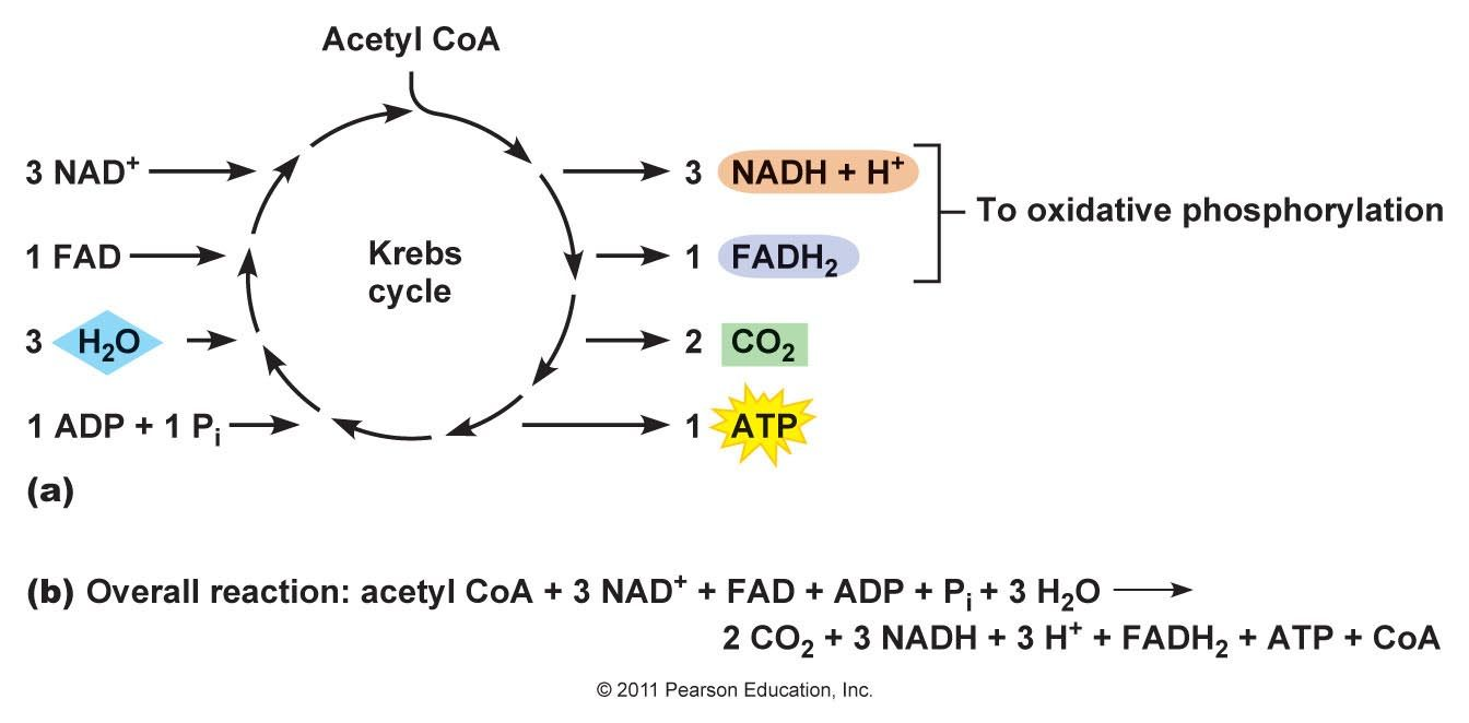 As a result of the linking step the krebs cycle each molecule of as a result of the linking step the krebs cycle each molecule of glucose produces pooptronica Image collections