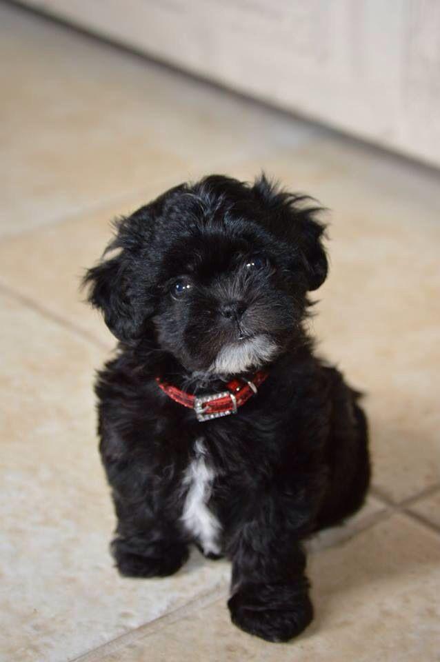 Charlie My Shih Poo Puppy Shih Poo Puppies Shih Tzu Puppy