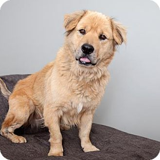 Los Angeles Ca Golden Retriever Mix Meet Judge A Dog For