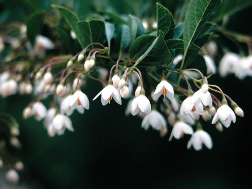 Japanese snowbell styrax japonicus emerald pagoda lovely fragrant japanese snowbell styrax japonicus emerald pagoda lovely fragrant white flowers hang from strongly mightylinksfo Gallery