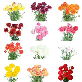 Assorted Colors Ranunculus Flower September To May 15th Delivery Ranunculus Flowers Wholesale Flowers Wholesale Flowers Wedding