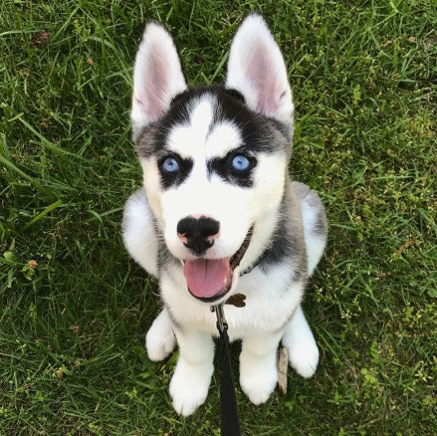 Just Look At This Adorably Excited Pup Staring Up At You Husky