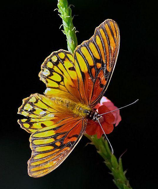 Mexican Silver-spot Butterfly; by pk_capt_sun~