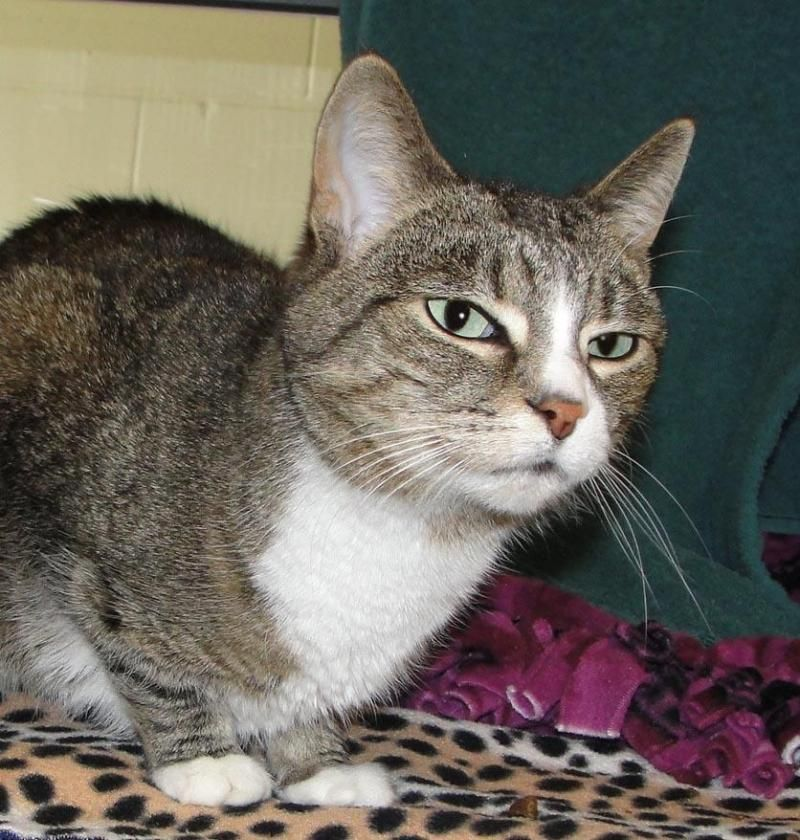 Meet Snickers, a Petfinder adoptable Domestic Short Hair