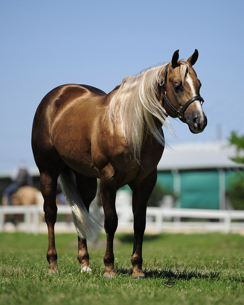 Wimpys Showboat - 2006 Palomino Quarter Horse Stallion Wimpys Little Step X Ms Hollywood Showtime