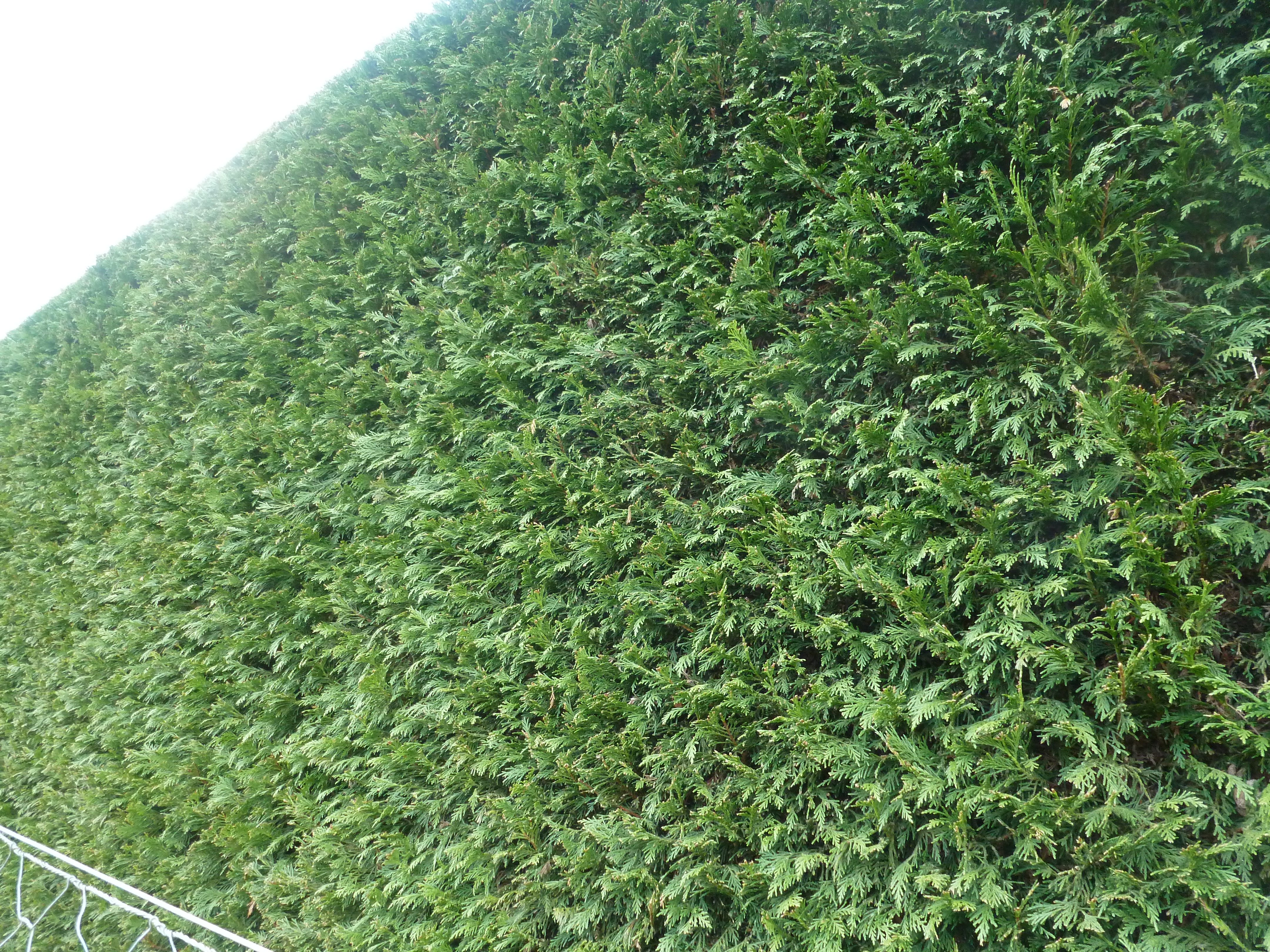 Newly clipped Leylandii hedge plants available from