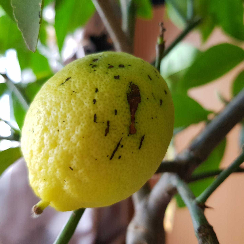 Le citronnier, entretien et récolte Entretien citronnier