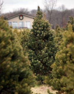 Here S Where To Find Your Perfect Tree Photo An Uncut Christmas Tree Stands Among Other Trees At Honeybee Christmas Tree Stand Christmas Tree Farm Tree Farms