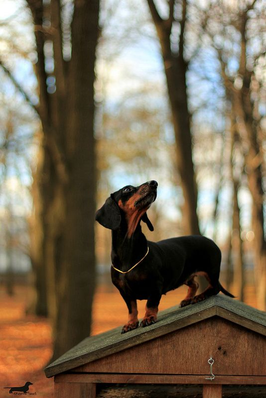 Just a little closer and I will be able to get that squirrel. doxie