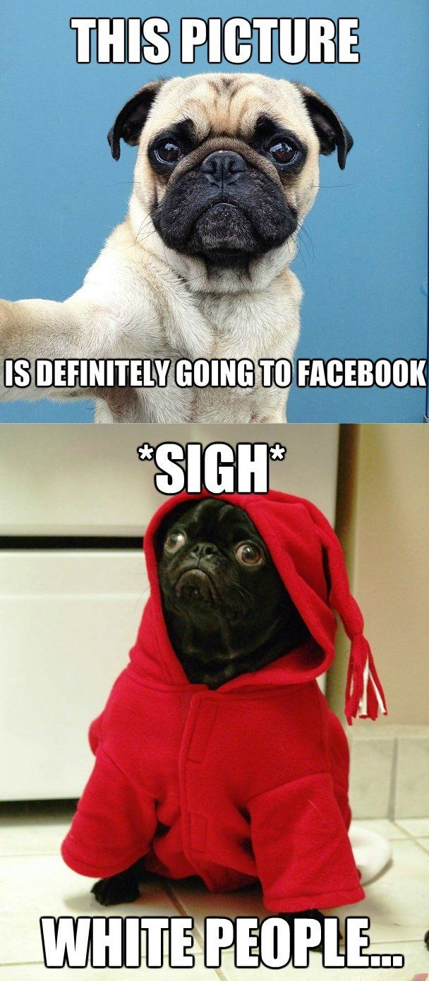 This Picture Is Definitely Going To Facebook Pug Memes Pugs Funny Pugs