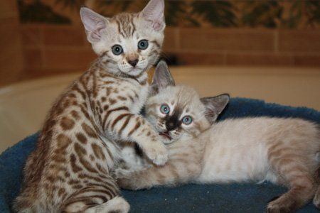 The Cutest Mink Snow Bengal And Seal Lynx Point Snow Bengal