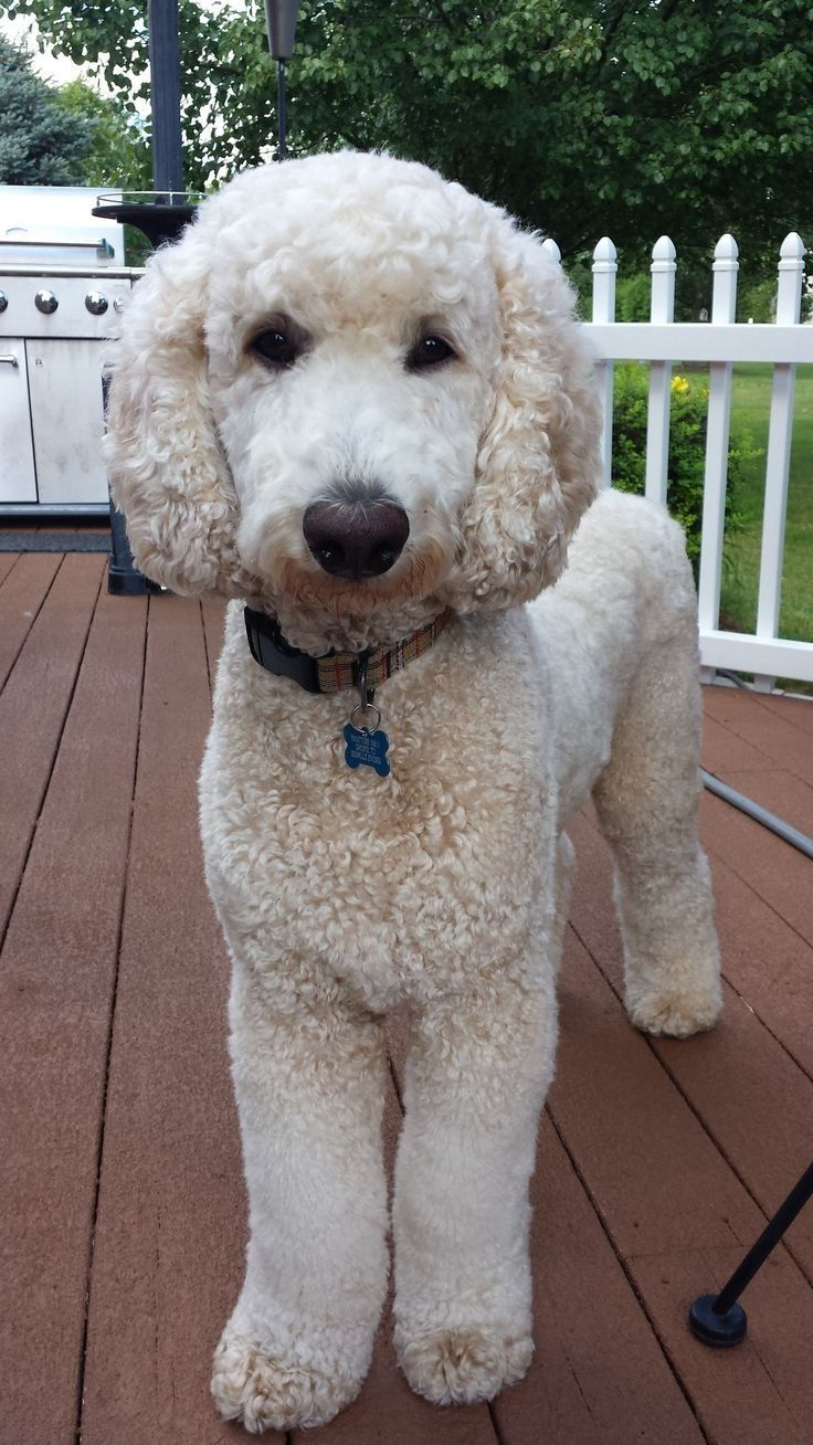 Hairstyles For Poodles Hairstyles By Unixcode Poodles