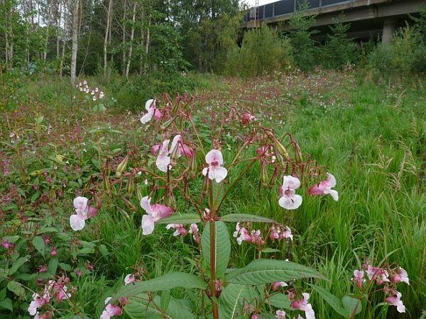 Impatiens glandulifera -- Himalayan Honeysuckle, Poor man's orchid