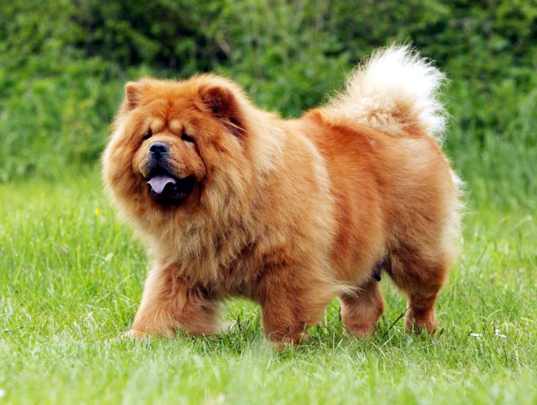 Pin By Sathish On Pet Supplies Online Chow Dog Breed Chow Chow