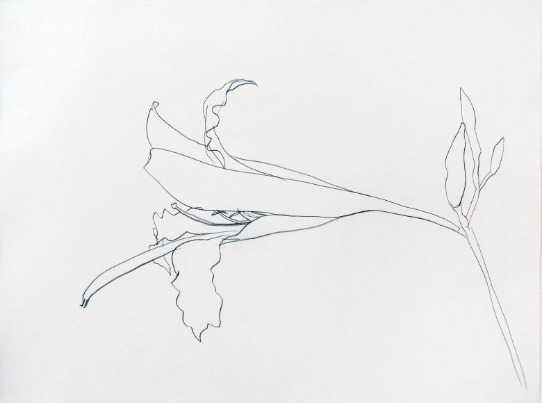 Line Art Flower Drawing : Image result for ellsworth kelly plant drawings