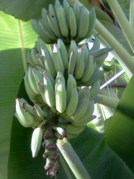 growing bananas in Michigan
