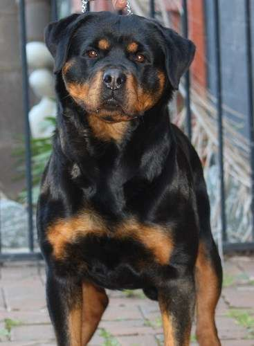 Dogs Vic Member 3100028644 Czarkym Rottweilers Are Pleased To