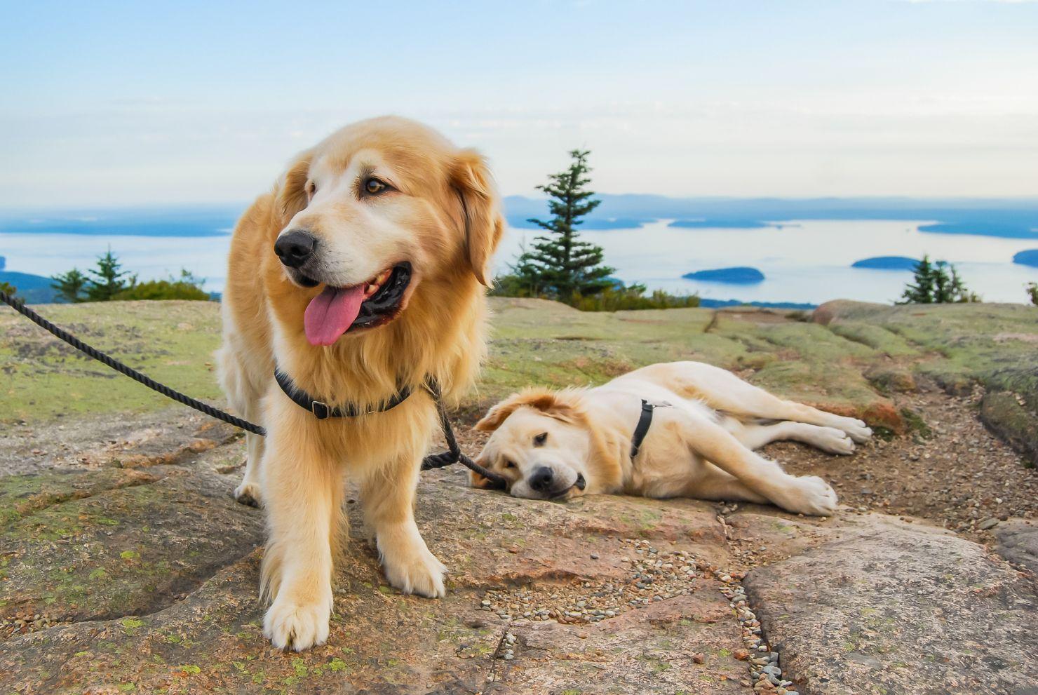 Acadia National Park Dog Heaven Dogs Golden Retriever Golden