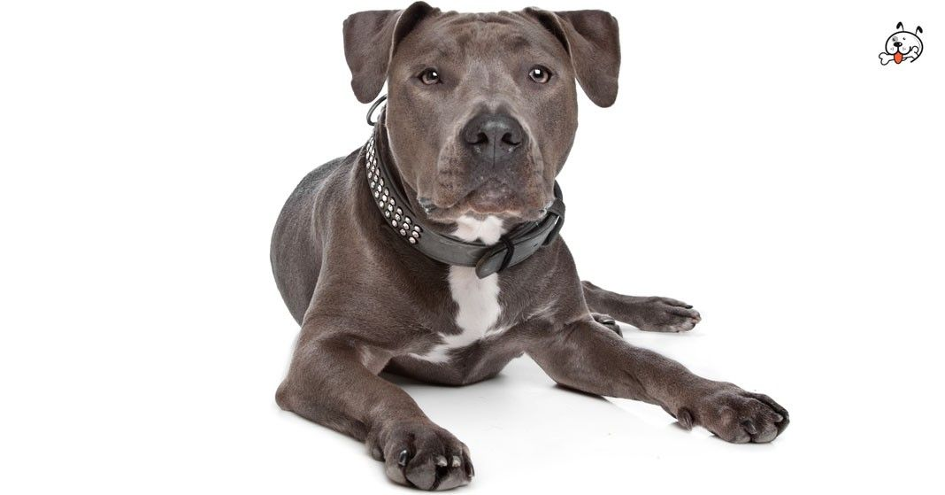 Are you interested in #American_Staffordshire_Terrier Puppies?  Click here: http://puppies4all.com/american-staffordshire-terrier-puppies-for-sale/