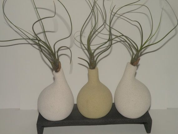 Long curly Butzii air plants