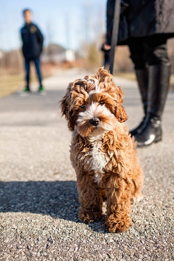 I Have To Have One Tessa The Cockapoo Puppy By Happy Tails Photography Cockapoo Puppies Pet Travel Pets