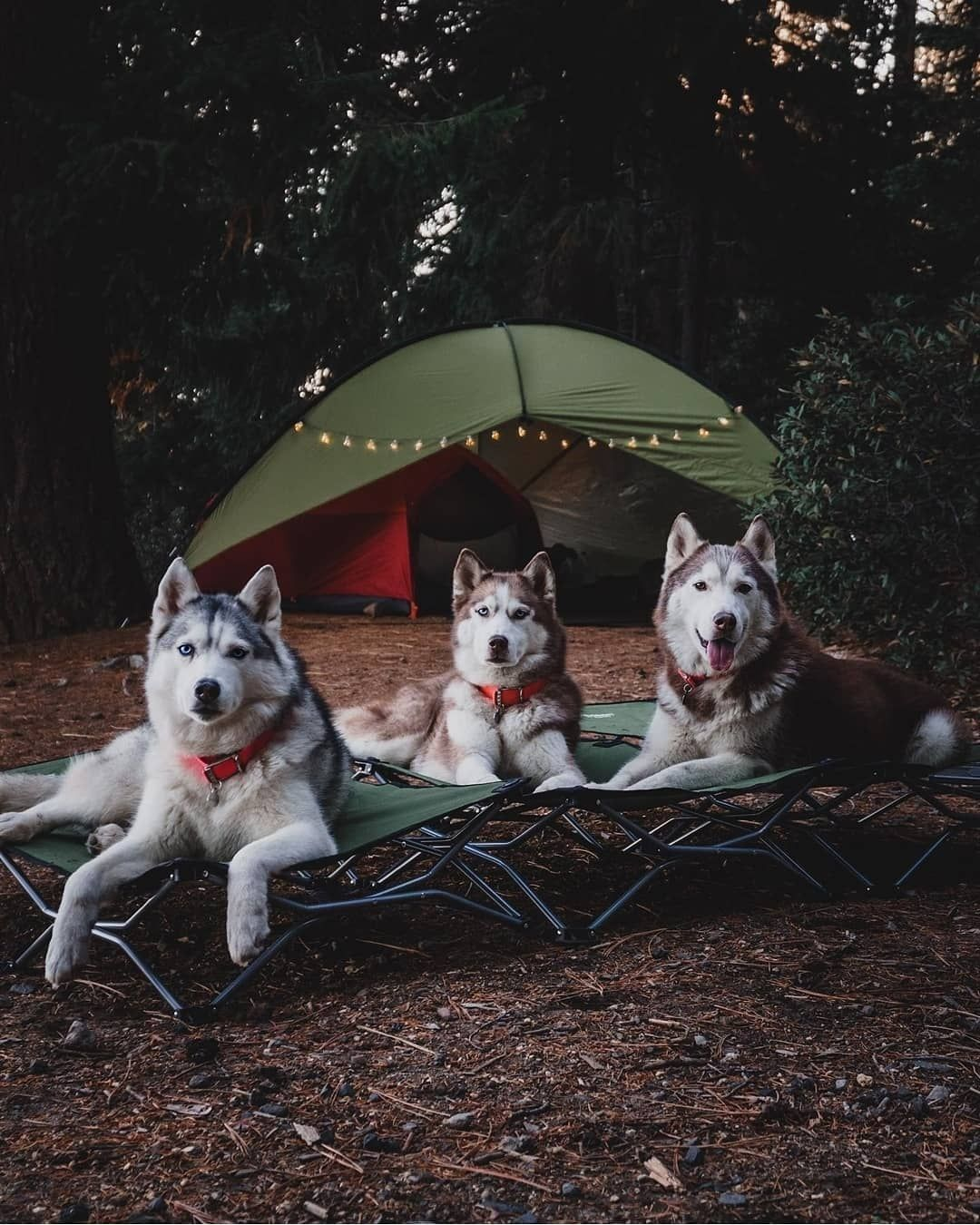 The Environment I Am Looking For Husky Huskies Huskypack