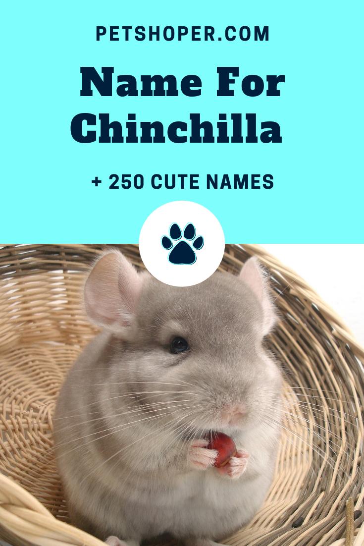 Name For Chinchilla 250 Cute Names Interesting Facts Cute Pet Names Cool Pet Names Chinchilla Cute